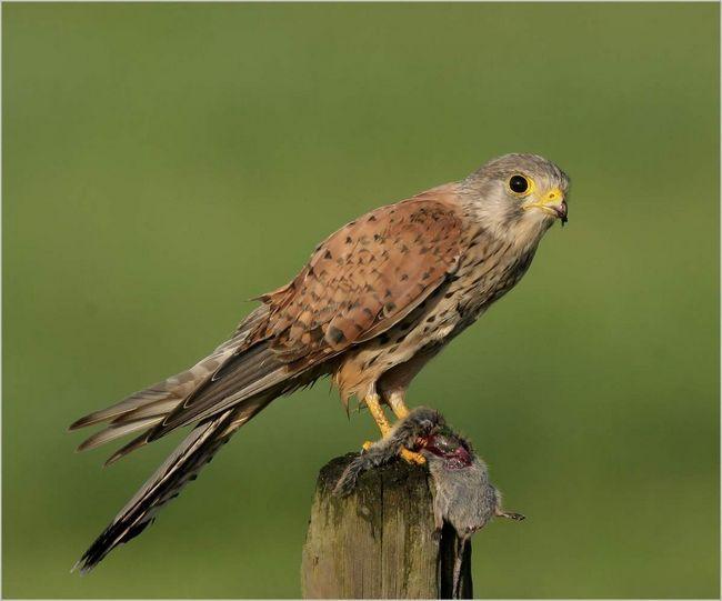 Звичайна боривітер (Falco tinnunculus).