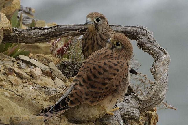 Самець і самка звичайної боривітра.