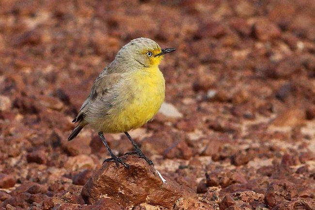 Період гніздування пустельні ашбіі проводять в парі.