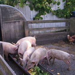 Годування свиней в домашніх умовах