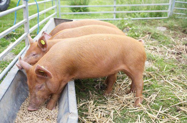 Годування свиней комбікормом