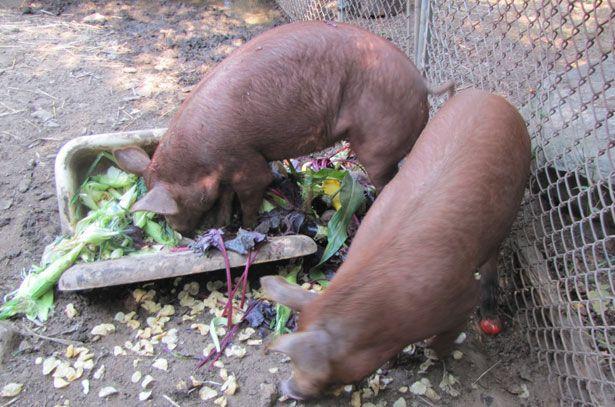 Годування свиней відходами саду і городу