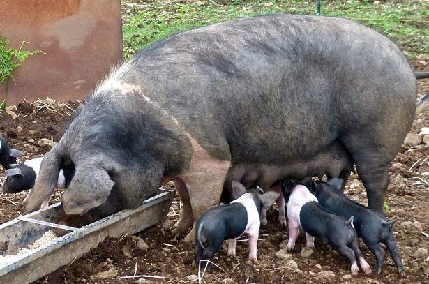 Годування свиноматки в період лактації