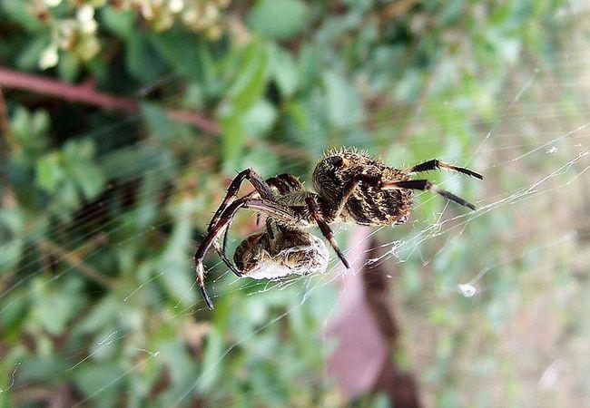 Раціон павуків-кругопрядов складається не тільки з комах