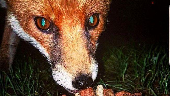 У великобритании лисиця вкрала мобільний у рибалки