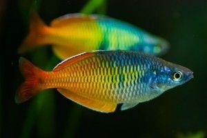 Райдужниця - рибка для акваріума