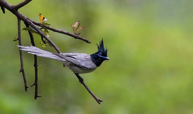 Молоді самці забарвленням оперення схожі на самок, але відрізняються пір`ям чорного кольору на шиї і синім оздобленням очей.