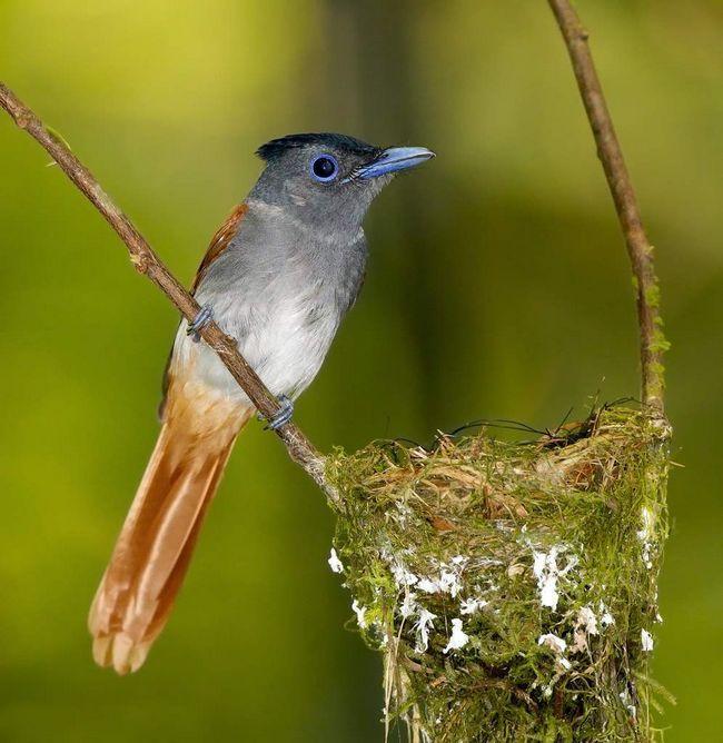Птахам потрібна приблизно один тиждень, щоб побудувати своє конусообразное гніздо.