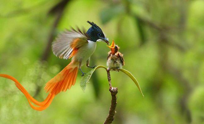 Деякий час самка і самець догодовують своє потомство.