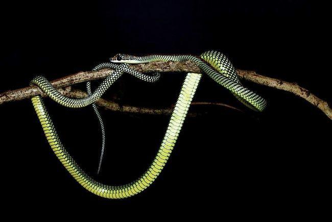 З боків тулуба луска райського прикрашеної змії зеленого кольору з чорною окантовкою.
