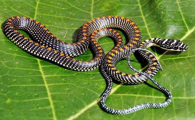 Змія любить первинні і вторинні дощові тропічні ліси, зустрічається поряд з поселеннями людини.