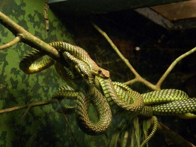 Райська прикрашена змія часто міститься в тераріумах.