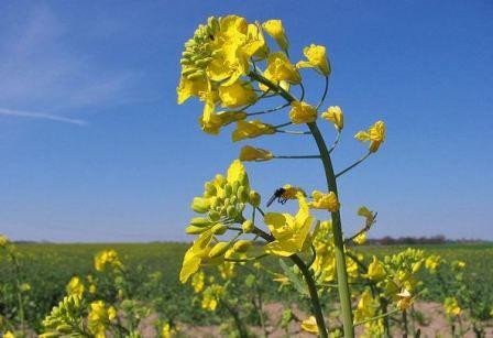 Квіти ріпаку фото