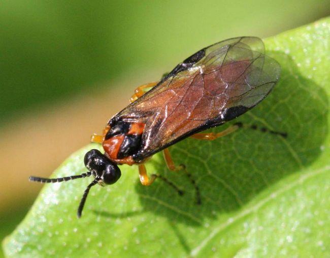Особливо шкідливі личинки ріпакової пильщика першого покоління.