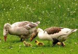 У гусей повинен бути доступ до води