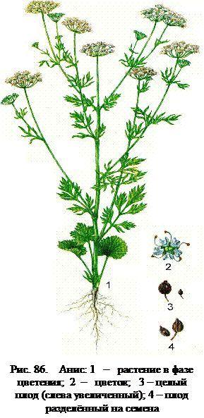 Рослина аніс