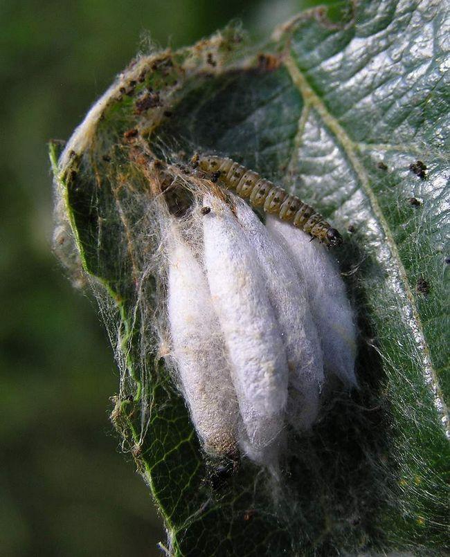 Лялечки растительноядной молі, з яких незабаром вийдуть личинки.