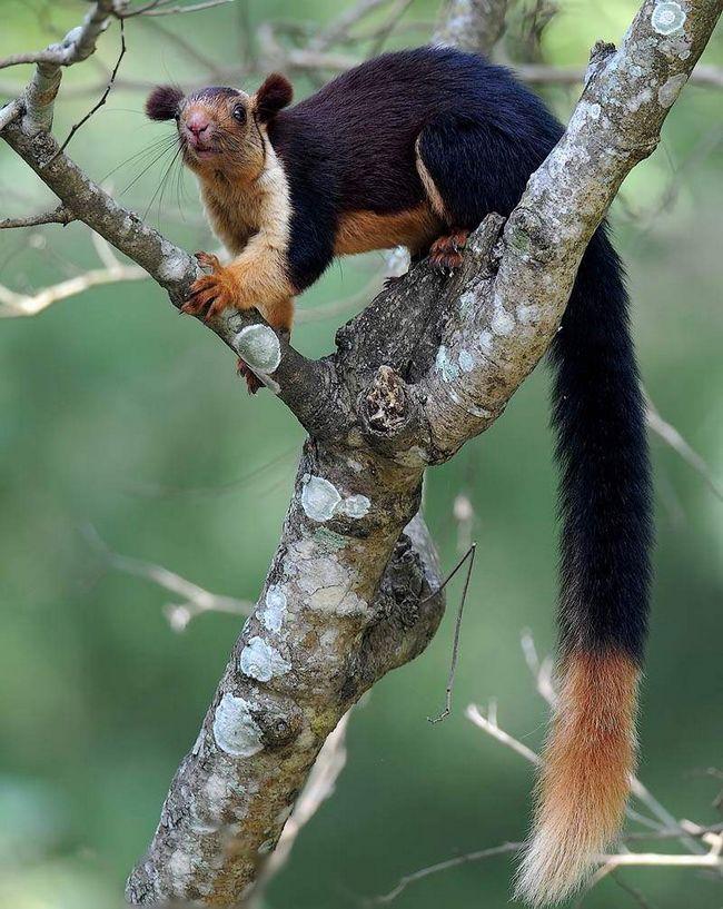 Ратуфа або гігантська білка (Ratufa).