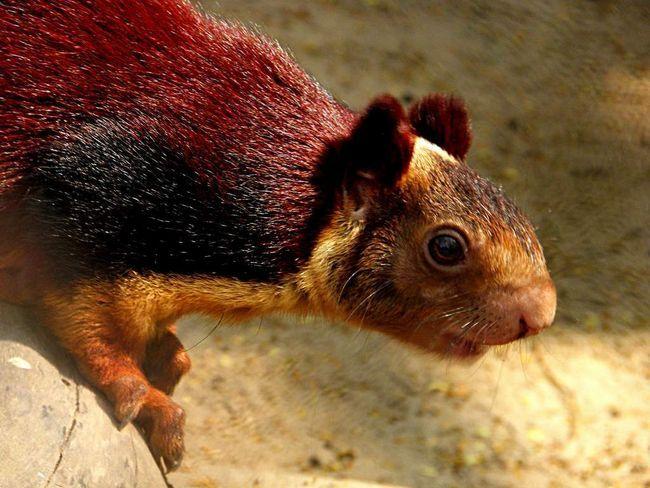 Ратуфа - велика і яскраво забарвлена білка.