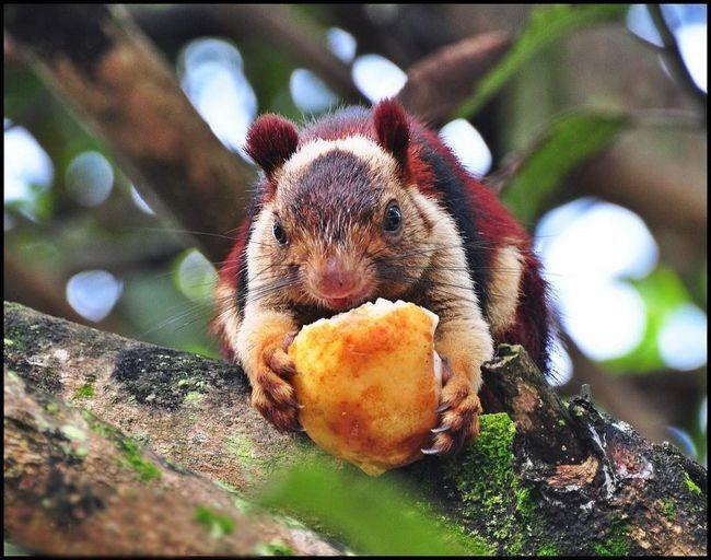 У раціон гігантської білки входить рослинна їжа, великі комахи, яйця і пташенята.