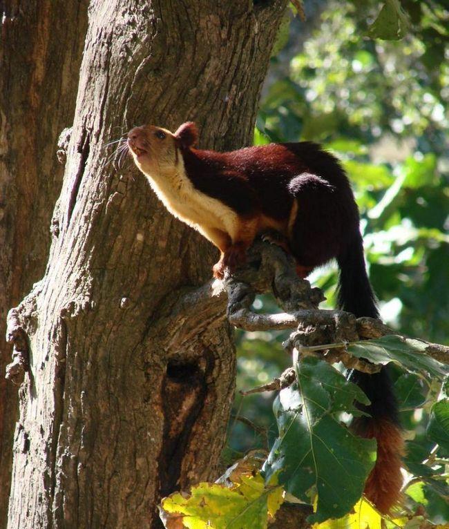 Для білок характерні добре розвинені і широкі подушечки на передніх лапах, які дозволяють тваринам амортизувати при стрибку.