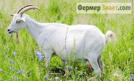 Роздоюють козу після окоту: відповіді на питання