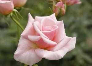 Поділ троянд по класам і групам