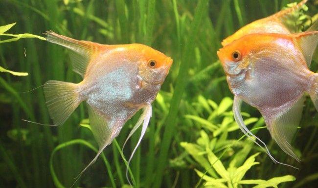 Розмножуємо скалярій в загальному акваріумі будинку.