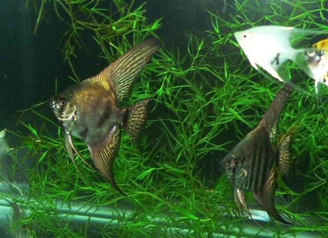 Нерест в акваріумі скалярій.