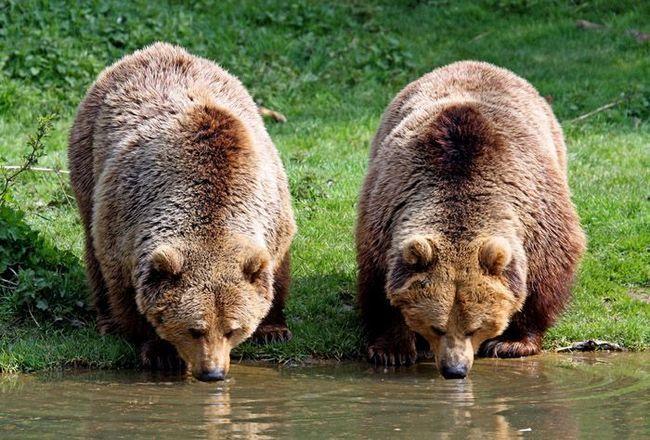 Бурі ведмеді (Ursus arctos).
