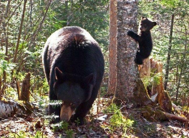 Поки мати зайнята пошуком корму, ведмежа вчиться лазити по деревах.