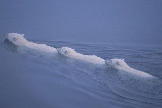 В туманному серпанку білі ведмеді перетинають море.
