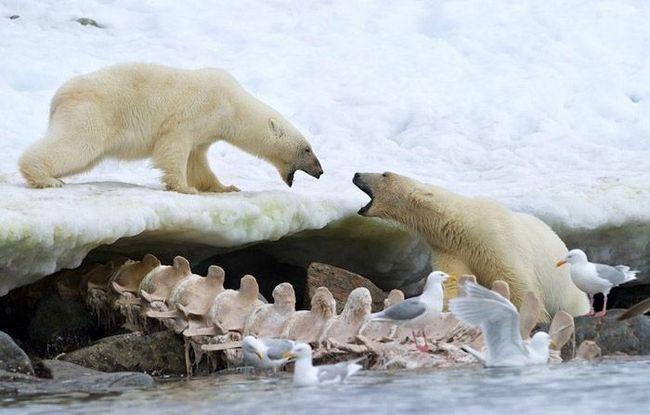 Два білих ведмедя ділять тушу кита. Поруч крутяться чайки - вічні супутники ведмедів.