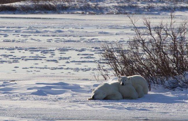 Самка білого ведмедя з ведмежам відпочиває прямо на снігу.