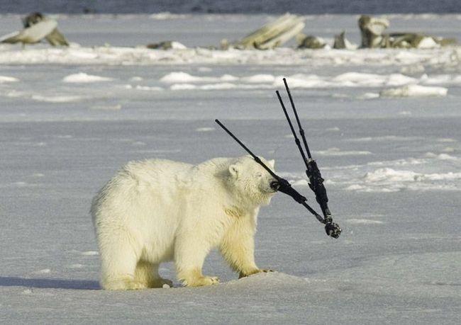 Цей ведмідь з явним задоволенням хоче долучитися до професії фотографа.