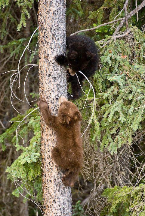 У виводку чорного ведмедя нерідко можна зустріти дитинчат різного забарвлення.