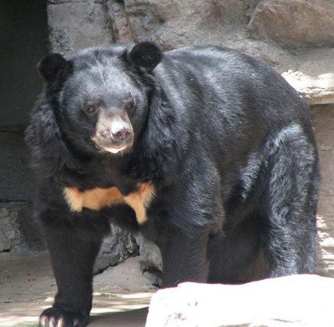 Гімалайські ведмеді бувають тільки чорного забарвлення, а на грудях у них красується біле або жовта пляма у вигляді букви V.