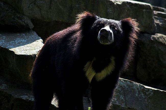 Забарвленням губач сильно змахує на гімалайського ведмедя, але шерсть у нього дуже довга і густа. Кігті теж надзвичайної довжини.