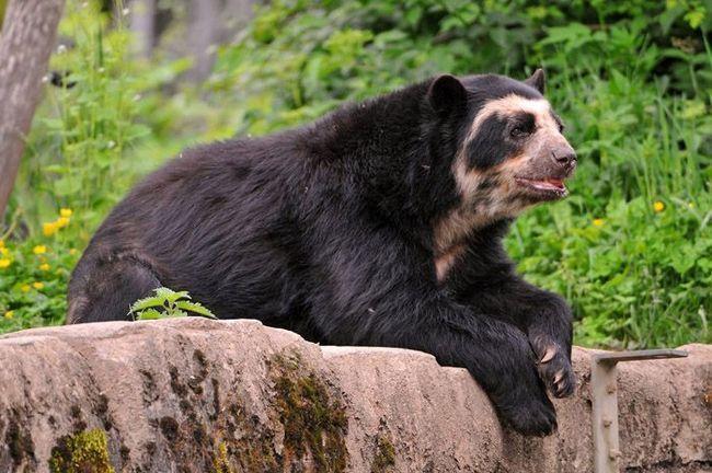 Очковий ведмідь (Tremarctos ornatus).