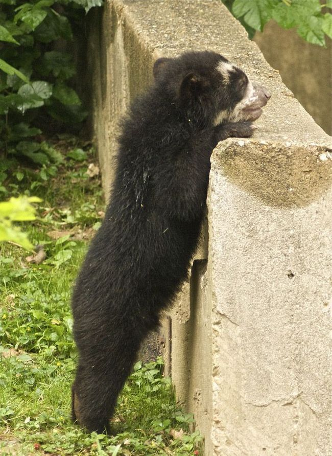 Дитинча очкового ведмедя вивчає відвідувачів зоопарку через огорожу.