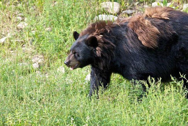 Чорний ведмідь (Ursus americanus) під час линьки.
