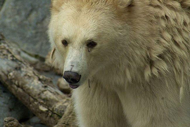 Цей бурий ведмідь має дуже світлу, майже біле забарвлення.