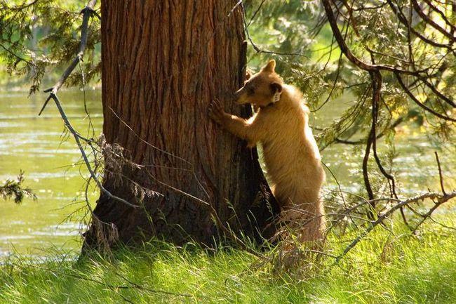 Молодий бурий ведмідь обстежує кору дерева в пошуках їстівної живності.