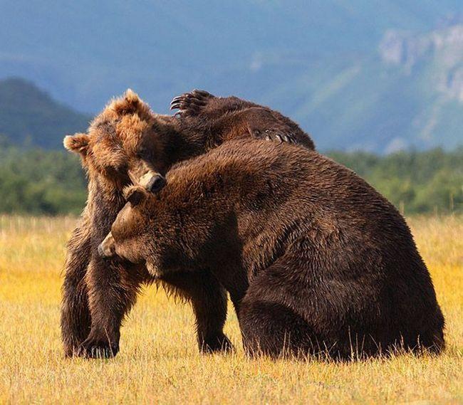 Ревуть самці вступають один з одним в жорстокі сутички.