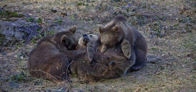Ведмедиця годує ведмежат лежачи.