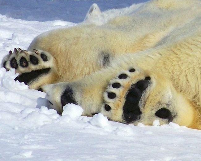Про те, що у білого ведмедя шкіра чорна, можна здогадатися лише глянувши на його ступні.