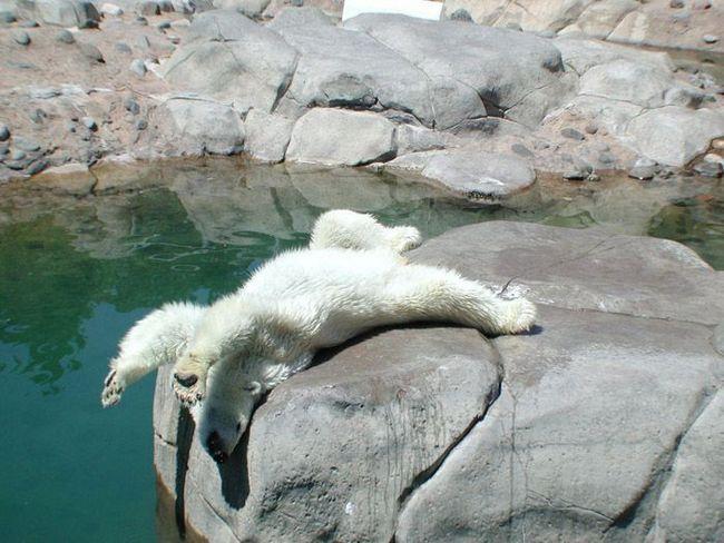 Цьому білому ведмедю, що живе в зоопарку, спека явно докучає.