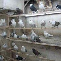 Розведення голубів відео
