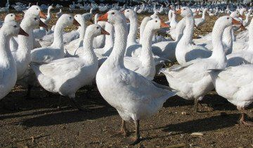 Зображення гусей породи Датський Легарт, board.com.ua
