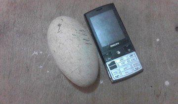 Гусяче яйце в порівнянні з телефоном, fermer.ru